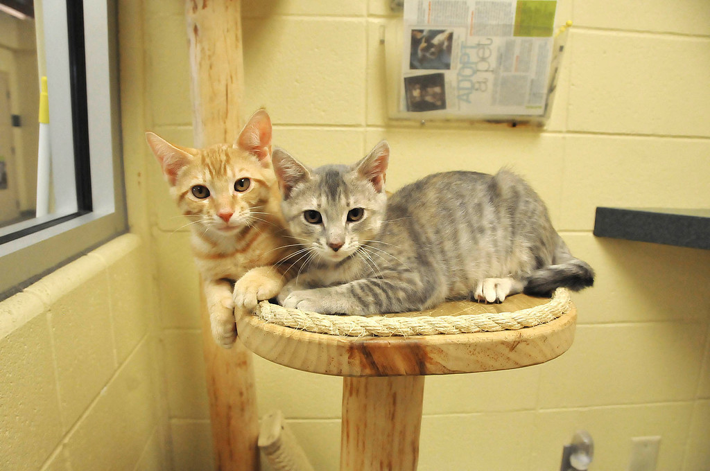 Description of . Two of the cats awaiting adoption at the Berkshire Humane Society shelter in Pittsfield on Thurdsay, Aug. 22, 2013. (STAFFORD)