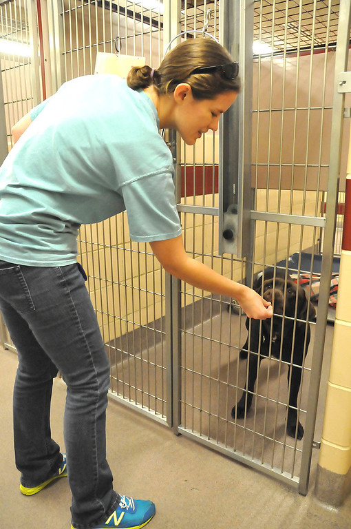 Description of . A member of the Humane Society shelter staff gives a treat to one of the dogs awaiting adoption at the Berkshire Humane Society shelter in Pittsfield on Thurdsay, Aug. 22, 2013. (STAFFORD)