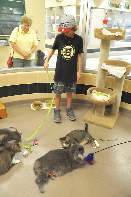 Description of . Matthew Widdison, 12, of Pittsfield plays with some of the cats awaiting adoption at the Berkshire Humane Society shelter in Pittsfield on Thurdsay, Aug. 22, 2013. (STAFFORD)