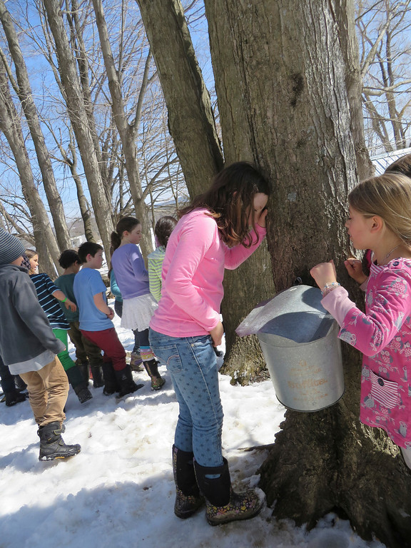 Description of . Third graders peek in a sap collection bucket for sugaring Tuesday at the Great Barrington Rudolf Steiner School. Jenn Smith/ Berkshire Eagle Staff/ photos.berkshireeagle.com Tuesday, March 11, 2013