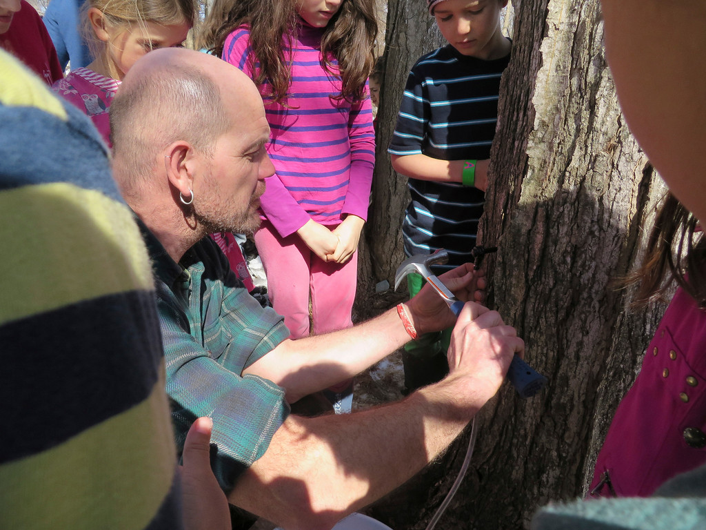 Description of . Third graders watch with fascination as facilities manager Hartmuth Sommer lightly hammers a sap tap into a sugar maple tree Tuesday at the Great Barrington Rudolf Steiner School. Jenn Smith/ Berkshire Eagle Staff/ photos.berkshireeagle.com Tuesday, March 11, 2013