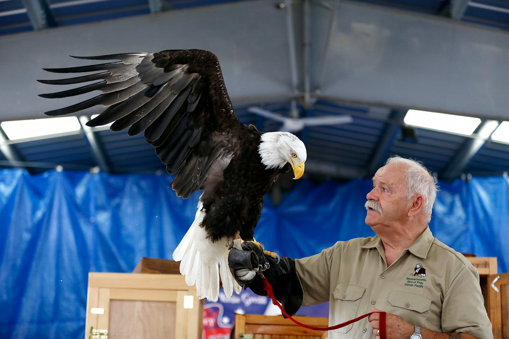 Description of . Tom Riccardi of the Massachusetts Birds of Prey Rehab Facility shows one of his newer rescues, a bald eagle who's balance and capacity for movement has been severely diminished from a collision with a live power line, during a birds of prey demonstration at the Adams Agricultural Fair. Saturday, August 2, 2014. Stephanie Zollshan / Berkshire Eagle Staff / photos.berkshireeagle.com