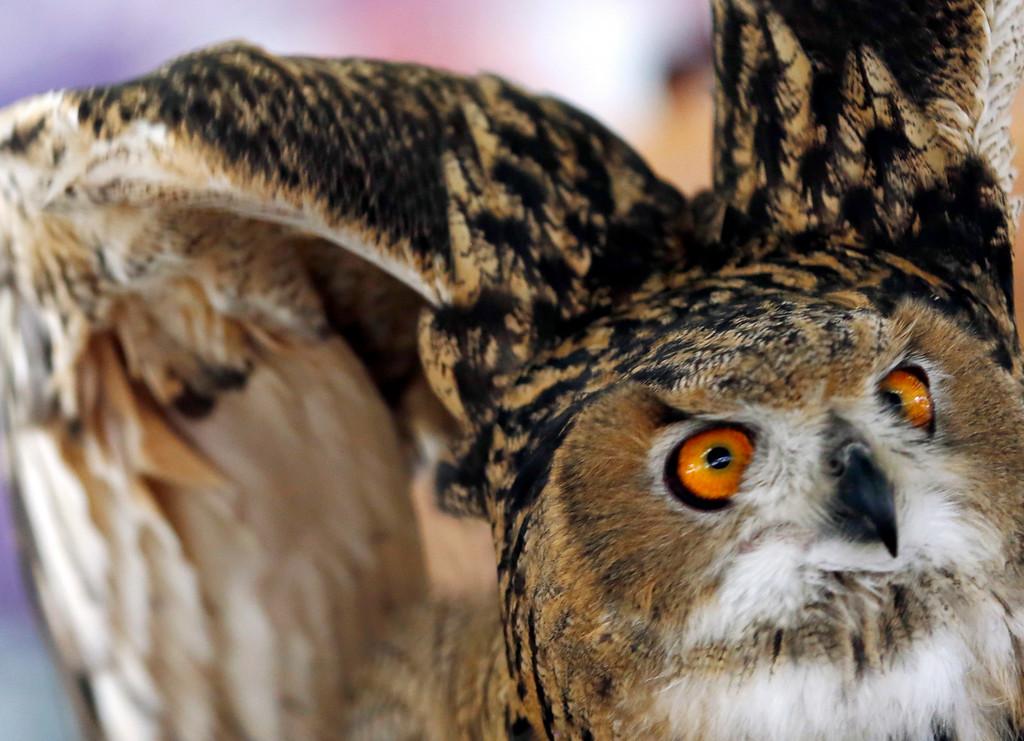 Description of . A Eurasian eagle owl tries to take flight during a Birds of Prey demonstration at the Adams Agricultural Fair. Saturday, August 2, 2014. Stephanie Zollshan / Berkshire Eagle Staff / photos.berkshireeagle.com