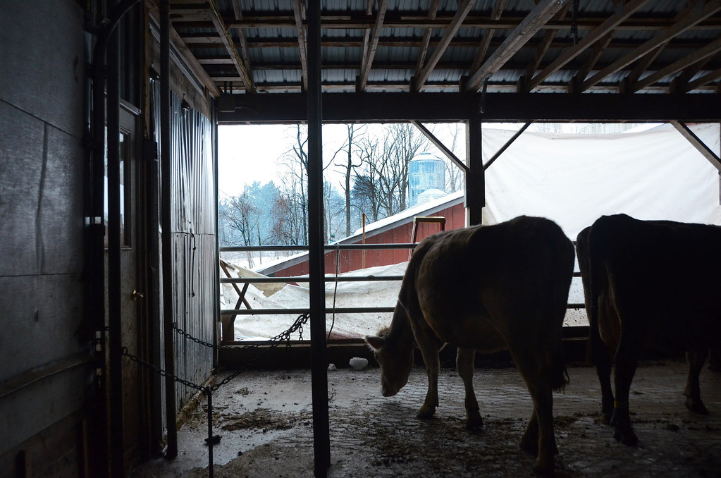 . Cows hang out in a barn at Cricket Creek Farm in Williamstown. Gillian Jones/Berkshire Eagle Staff