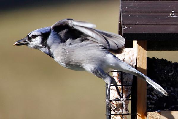 Backyard Bird Feeder in Pittsfield-112015