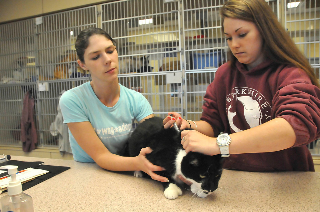 . Shelter staffers Erin Stasja, left, and Jenn Zatorski immunize one of the cats awaiting adoption at the Berkshire Humane Society shelter in Pittsfield on Thurdsay, Aug. 22, 2013. (STAFFORD)