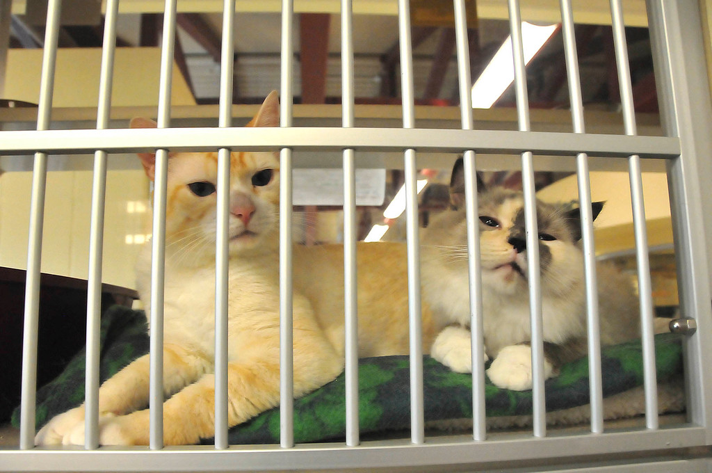 . Two of the cats awaiting adoption at the Berkshire Humane Society shelter in Pittsfield on Thurdsay, Aug. 22, 2013. (STAFFORD)