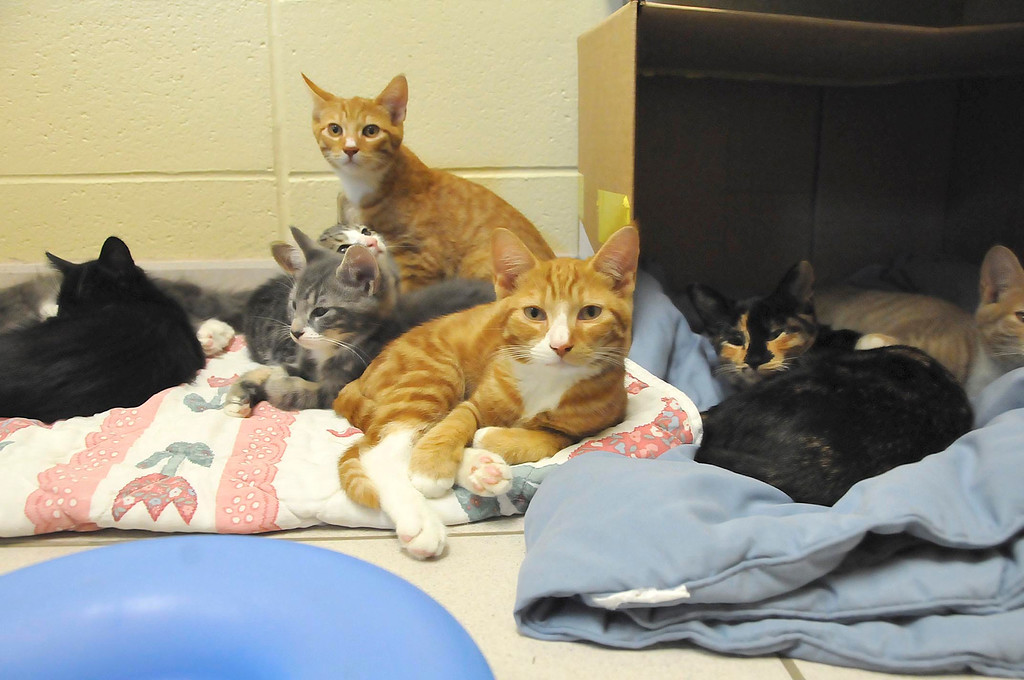 . Some of the 96 cats awaiting adoption at the Berkshire Humane Society shelter in Pittsfield on Thurdsay, Aug. 22, 2013. (STAFFORD)