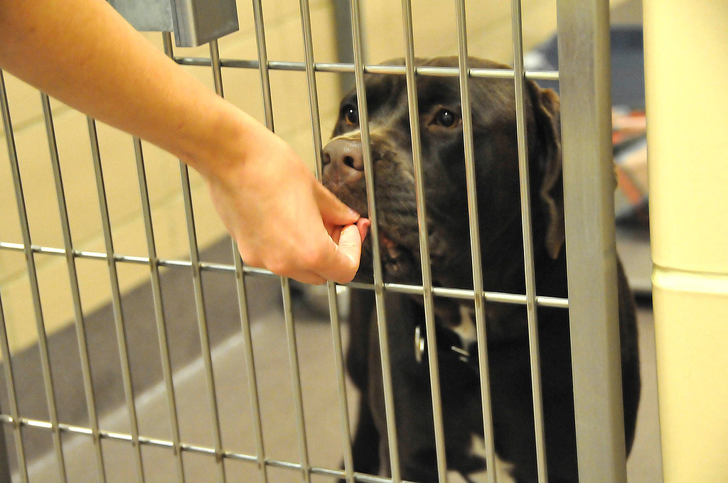 . A staff member of the Humane Society shelter gives a treat to one of the dogs awaiting adoption at the Berkshire Humane Society shelter in Pittsfield on Thurdsay, Aug. 22, 2013. (STAFFORD)