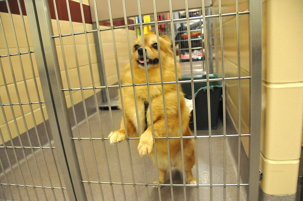 . One of the dogs awaiting adoption at the Berkshire Humane Society shelter in Pittsfield on Thurdsay, Aug. 22, 2013. (STAFFORD)