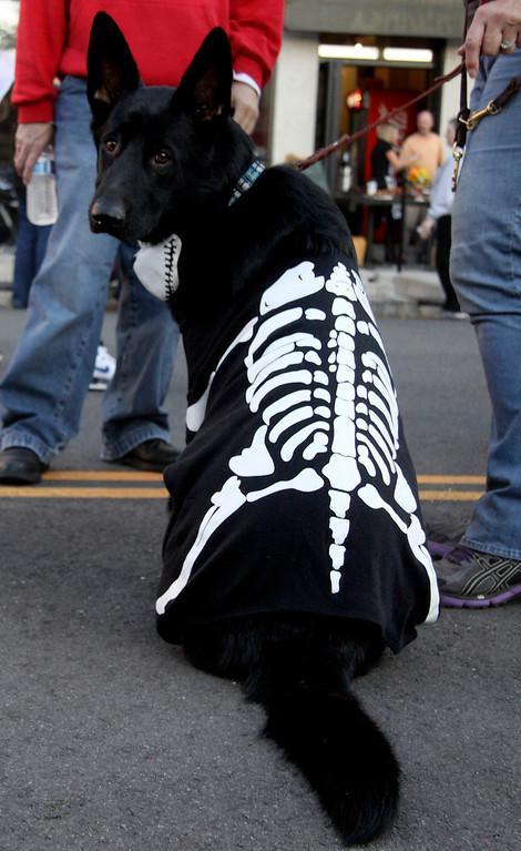 . Shadow strikes a pose at the camera as he wears his costume produly on Thursday evening in pittsfield during the 3rd Thursday event. The theme was monster mash and guests were invited to wear their scariest and most unique costumes to the event. 10/17/13 Holly Pelczynski/Berkshire eagle staff