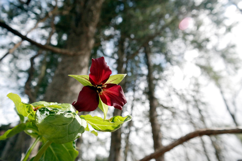 . A trillium catches sunlight benieth spruces at Pleasant Valley. Pleasant Valeey Wildlife Sanchuary in Lenox is one of several Massachusetts Audubon Society properties that will not allow surveying for a statewide gas pipeline. Monday May 5, 2014. Ben Garver / Berkshire Eagle Staff / photos.berkshireeagle.com