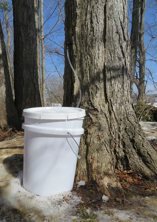 . Third graders set up a sap collection bucket for sugaring Tuesday at the Great Barrington Rudolf Steiner School. Jenn Smith/ Berkshire Eagle Staff/ photos.berkshireeagle.com Tuesday, March 11, 2013